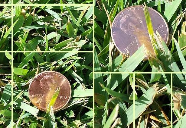 El Toro Zoysia grass