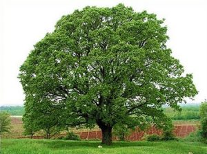 Mexican White Oak